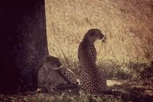 Cheetahs Relaxing On Grassy Field
