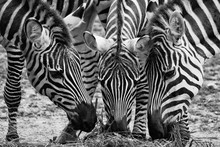 Close-up Of Zebras Grazing On Field