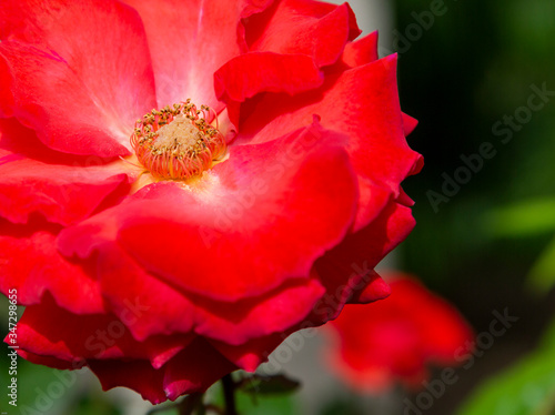 Closeup photo of the center of a blooming red rose Canvas Print