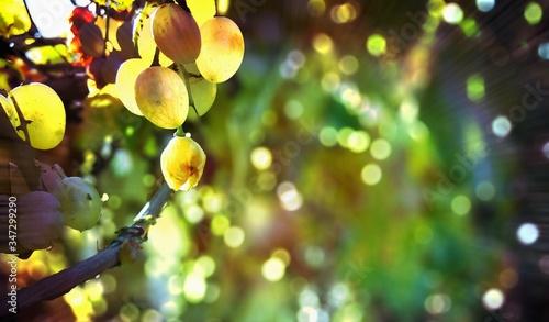 Canvastavla Close-up Of Fruits Hanging On Tree
