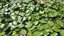 High Angle View Of Green Leaves Floating On Water