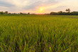 Rice field with sunset over the mountain background at the countryside of Thailand..