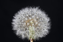 Wild Flower Taraxacum Officinale Dandelion Blowball Asteraceae Family Background Modern High Quality Prints