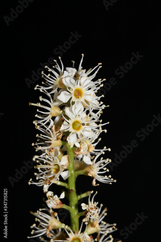 Fotografie, Obraz Flower in black macro background prunus lusitanica family rosaceae high quality