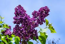 Closeup Of Dark Purple Lilac F...