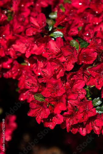 Red azalea blooming after a rainstorm, raindrops shining in the sun