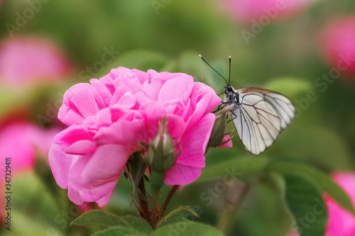 Aporia crataegi butterfly sits on a pink rose Canvas Print