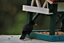 Closeup Of A Black Bird On A B...