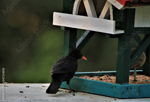 Tablou Canvas Closeup of a black bird on a bird feeder