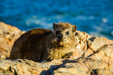 Hyrax Resting On Rock By River