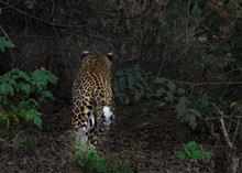 Leopard Move Back Into Jungle ...