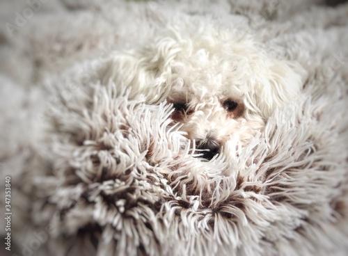 Photo Close-up Portrait Of Bichon Frise