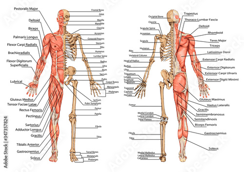Human skeleton from the posterior and anterior view - didactic board of anatomy Wallpaper Mural