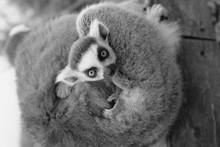 Close-up Portrait Of Lemur