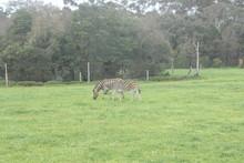 Side View Of Zebras Grazing On Field