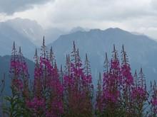 Purple Wildflowers With Mounta...