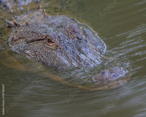 Photo Close-up Of Alligator Swimming In River