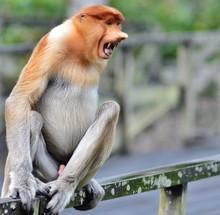 Close-up Of Proboscis Monkey Sitting On Railing