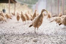 Many Female Common Pheasants O...