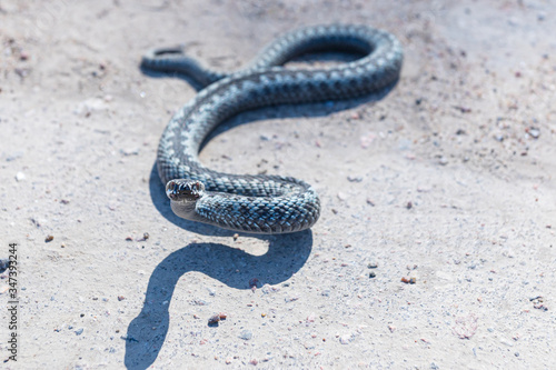 Grey viper or adder venomous snake in attacking or defencive pose rolled in knit Wallpaper Mural