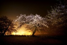 Cherry Blossom Trees In Orchard At Riverfront During Night