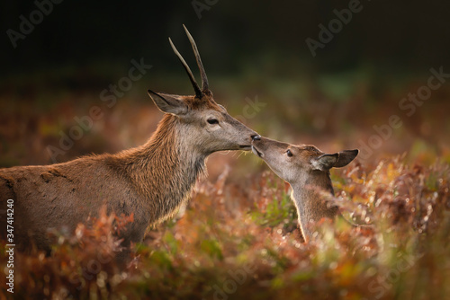Photo Red deer stag with a hind in autumn