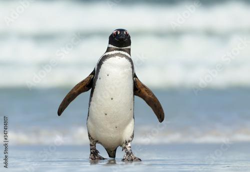 Close up of Magellanic penguin coming ashore Canvas Print