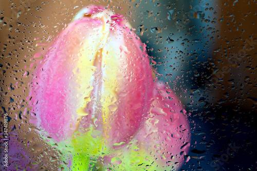 Fototapety, obrazy: Beautiful fresh Tulip Flower Bud behind a wet window glass.