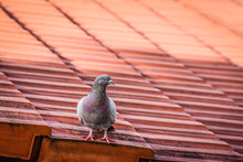 Grey Pigeon Sitting On A Red R...
