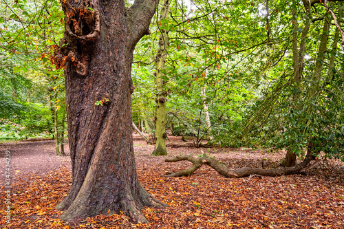 Fotografie, Obraz Forest with old trees and trunk in Cheshire UK