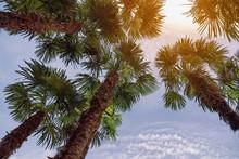 Fan Palm Trees ( Washingtonia ...