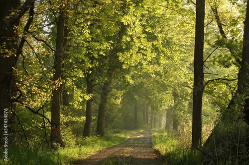 Sun rays illuminate spring oak leaves along a country road © joda