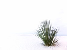 Grass Growing At White Sands National Monument Against Clear Sky