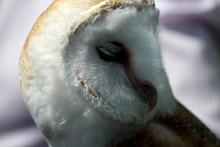 Close-up Of Barn Owl
