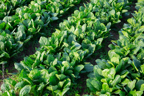 Wallpaper Mural Field planted with spinach