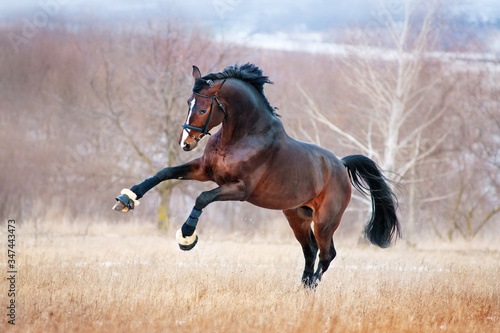 Fotomural Beautiful brown horse racing galloping across the field on a background autumn forest