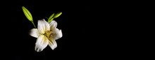 Wet White Lily Flower Isolated On Black With Dew Drops - Narrow Banner With Copy Space