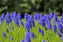 Blue Grape Hyacinth Flowers Blooming In Field