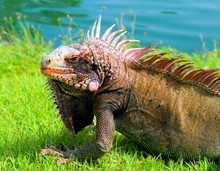 Close-up Of Iguana On Grassy F...