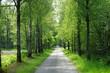 Allee aus Birken entlang einer Straße im Frühling