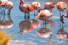 Pink Flamingos At Hedionda Lag...