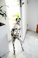Rear View Of Dalmatian Looking Out Through Home Entrance