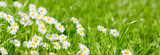 panoramic meadow with daisies at springtime
