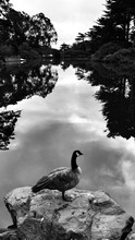 Canadian Goose On Rock By Calm River Against Sky