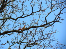 Low Angle View Of Squirrel On Bare Trees Against Clear Blue Sky