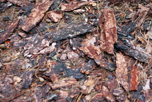Debris Of Bark And Dry Needles Lie In The Forest Under The Trees. Fragments Of Pine Bark Fell To The Ground. Top View, Close-up.
