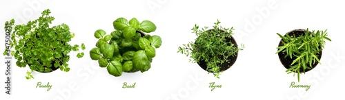 Fototapeta Herbs, Parsley, Basil, Thyme and Rosemary on White Background. obraz