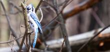 A Blue Jay Perched On Tree Bra...