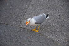 Seagull In The City Walking Around With Pizza In Its Mouth