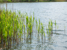 Bulrushes Near The River With ...